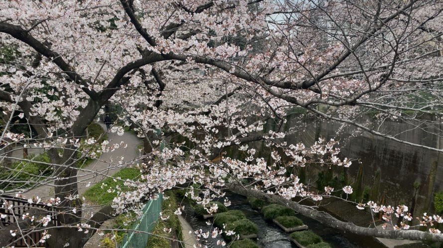 桜、キレイです。